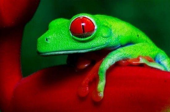 REINETTE AUX YEUX ROUGES -Rappelons que le rouge est la couleur complementaire du vert dans l''arc en ciel..!